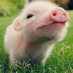 cutie pig lovely animal pink