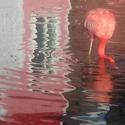 reflections pelicans birdshot
