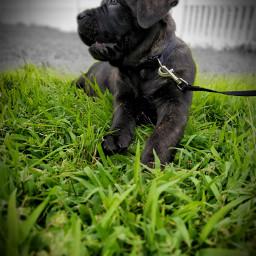 puppy half_face mastiff dog freetoedit halffaced