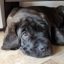 puppy half_face mastiff freetoedit half pchalffaced halffaced