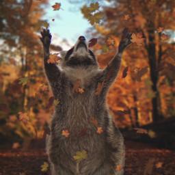 freetoedit leafs raccoon nature animal