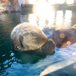 seattle aquarium otter ocean cute freetoedit