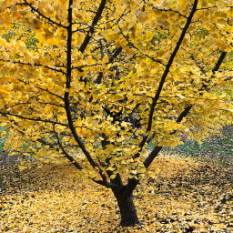 yellow tree nature fall autumn freetoedit