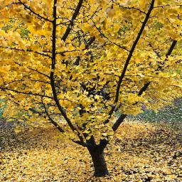 yellow tree nature fall autumn freetoedit