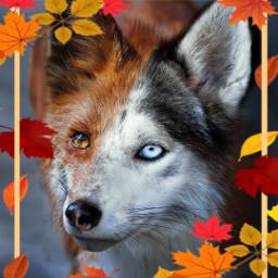 freetoedit wolf fox animals wallpapers srcautumnframe autumnframe