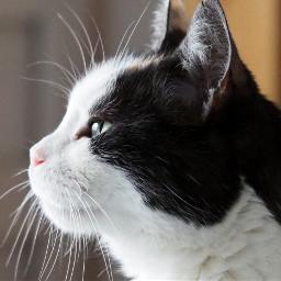 freetoedit gato cat kitty feline pchalffaced