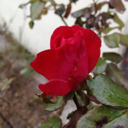 rose redrose november... november
