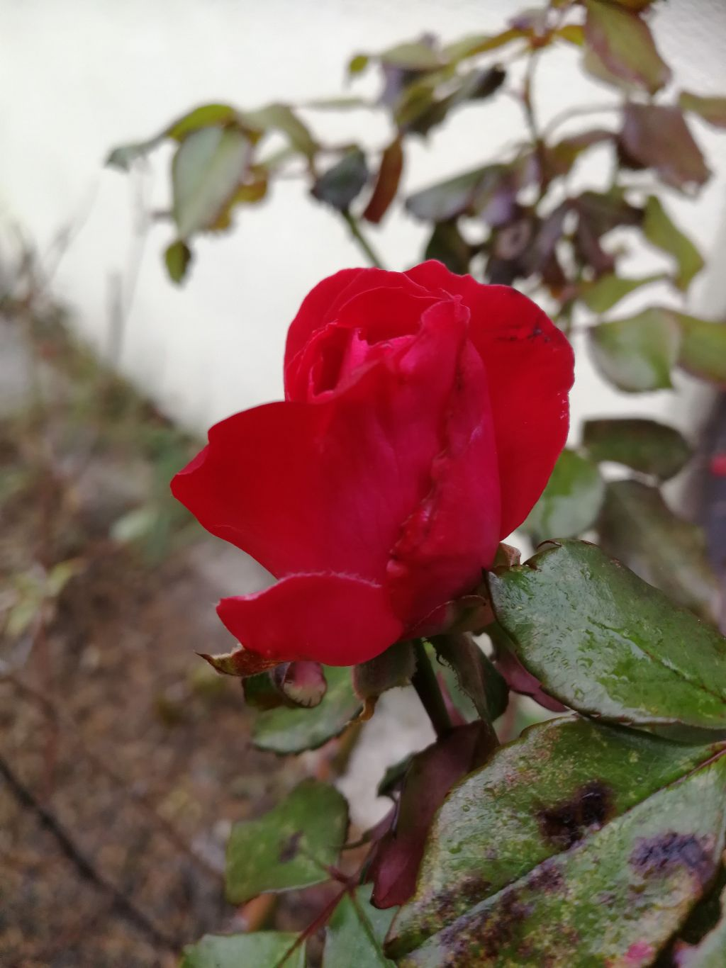 #rose #redrose #november... And still there are roses blooming