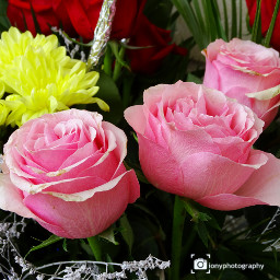 freetoedit followme colorful rosesflower flowers
