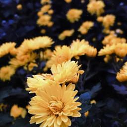 nature flowers seasonalflowers yellowflowers naturesbeauty freetoedit