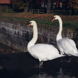 nature birds swans canal outandabout freetoedit