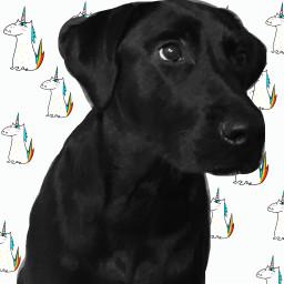 doggo thor blacklab
