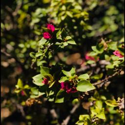 myphoto flowers rose picsart mydesign