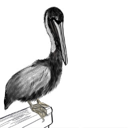 bird pelican drawing outlineart freetoedit