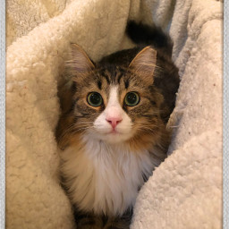cat kitten kittenplay cutepets cuteanimals freetoedit