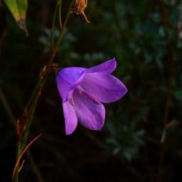 purple cyclamen bluebell flower nature