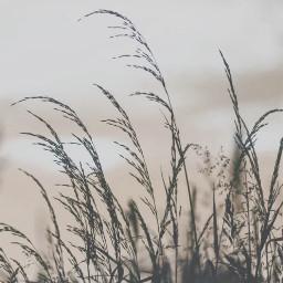nature grass silhouettes stillness skyandcloudsbackground freetoedit