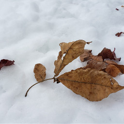 freetoedit naturelover photograph snow leaf