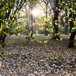 freetoedit sunlight trees leaves forest