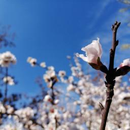 freetoedit flower flowers flor flores pcwhite white