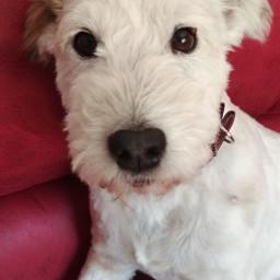 dog dogsofpicsart dogphotography dogslovers pcwhite white