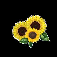 freetoedit sunflowers yellow mysticker