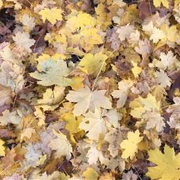 autumn leaves foliage yellow freetoedit