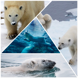 winter polarbear ice cold animals freetoedit