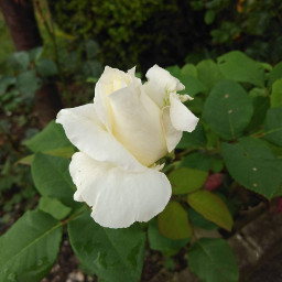 pcwhite whitehttps