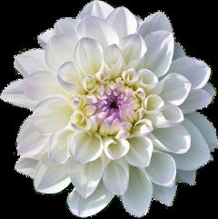 lucymy flowers flowerslucymy white wow freetoedit