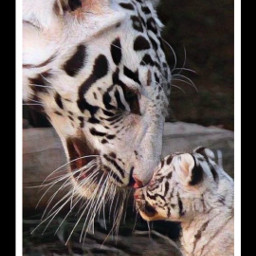 @asweetsmile1 blackandwhite lion blackandwhitephotography freetoedit