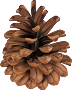 pinecone nature brown freetoedit scpinecone