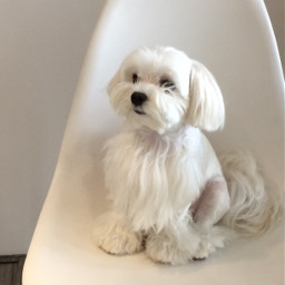 maltese adorable cutepuppy white pcwhite