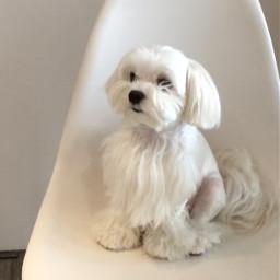 maltese adorable cutepuppy white pcwhite