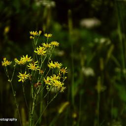 freetoedit followme floweryellow flowers flower