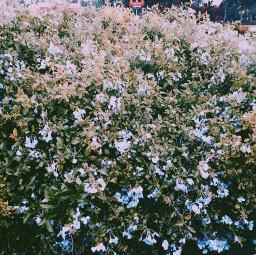 freetoedit flowers greenery bush nature