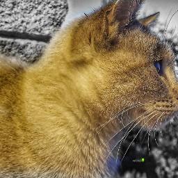 freetoedit kittenlove catlover cat feline
