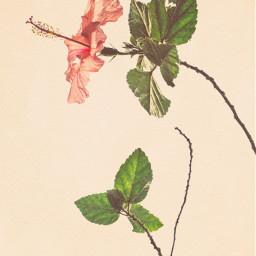 freetoedit watercolor flower hibiscus myedit