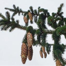 nature pinecones pinetree winter myphoto freetoedit