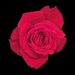 rosa fossa