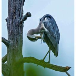 greyheron graureiher birdsphotography animal freetoedit