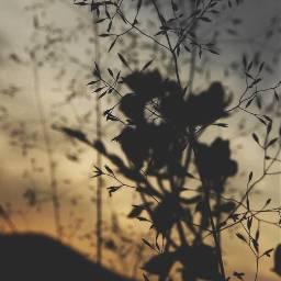 nature endoftheday sunsettime wildplants hillbackground freetoedit