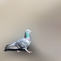 freetoedit animals bird pigeon teal