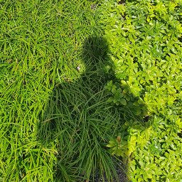 siluet green grass shadow freetoedit