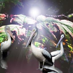 myoriginalphoto myedit edited pelicans nature