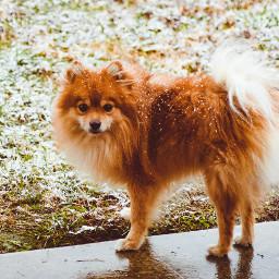 dogsofpicsart pomeranian alabama snow firstsnow freetoedit