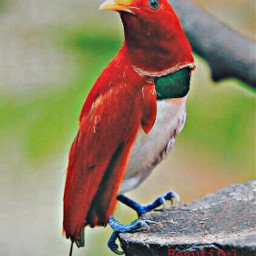 freetoedit bird red petsandanimals