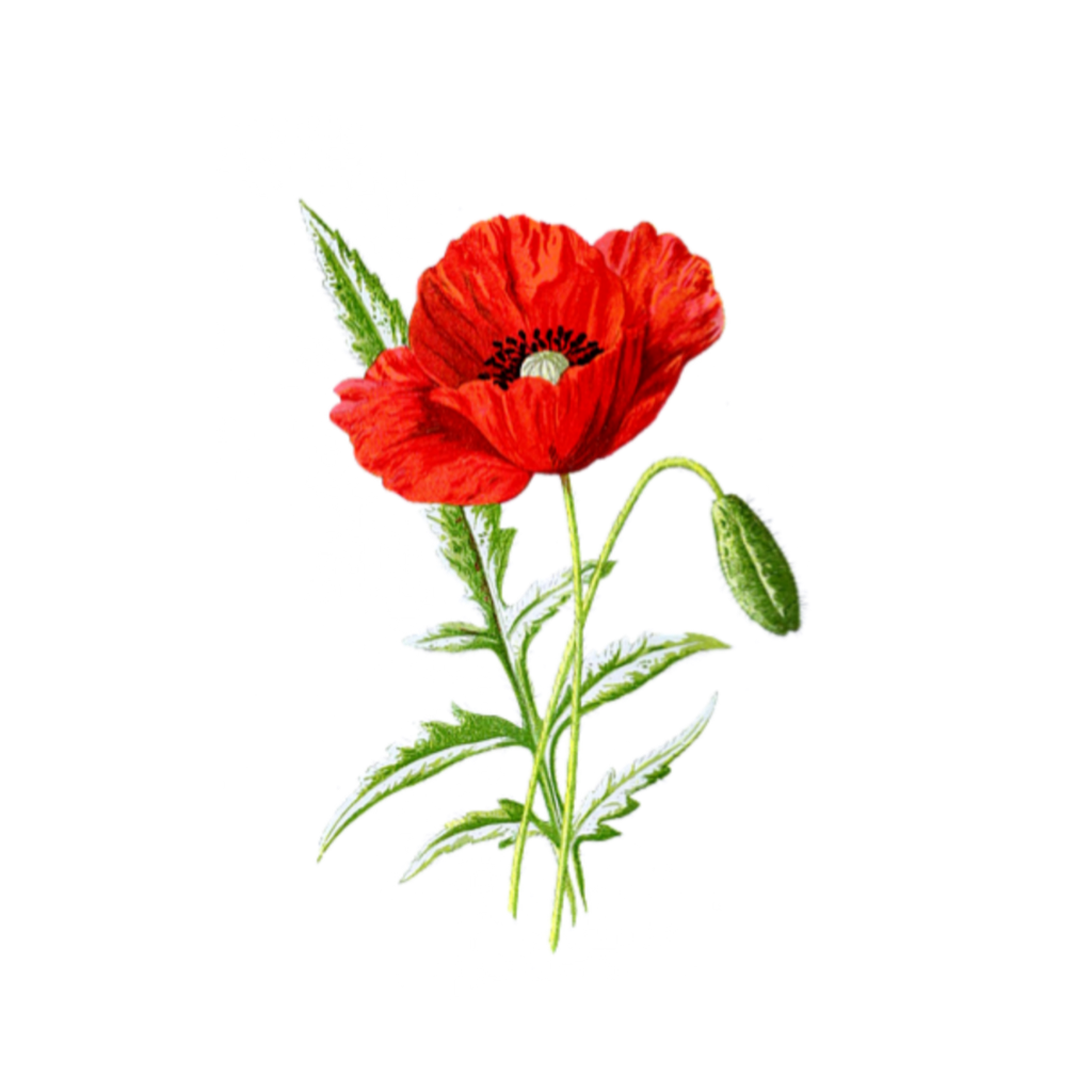 #freetoedit #red #poppy #flower