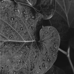 blackandwhite blackandwhitephotography leaf waterdrops photography freetoedit