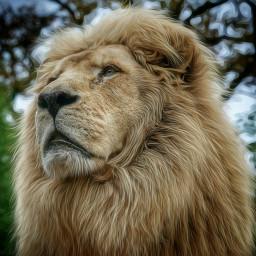 lion e-go picsart picoftheday e